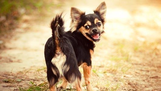 liggend_34425-Waarom-jaagt-mijn-hond-zijn-eigen-staart-achterna.jpg